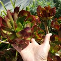 Selling: Large Red and Green Aeonium Cuttings