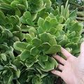 Selling: Large Green Aeonium cuttings