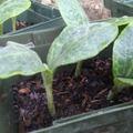 Selling: Squash Plant Seedling Starter