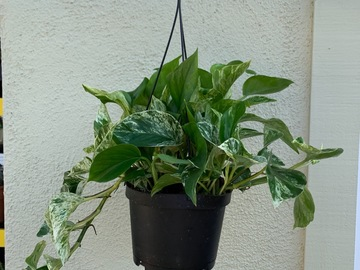 """Selling: Marble Queen Potho in a 6"""" hanging pot"""