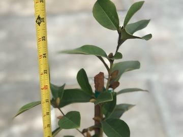 Join wait list: Michelia crassipes