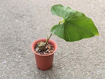 Join wait list: Anthurium rugolosum