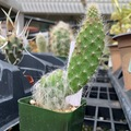 Selling: One little arm cactus