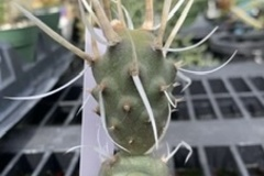 Selling: Paper spine cactus