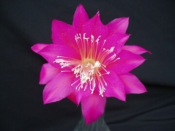 """Selling: Orchid Cactus hybrid """" FLUFFY RUFFLES """" In a quart pot."""