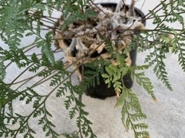 Selling: Rabbit foot fern