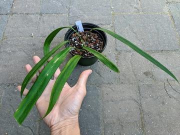 Join wait list: Anthurium pendens