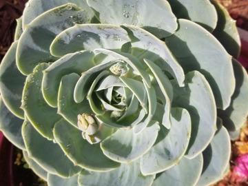 Selling: Big Echeveria Imbricata - SOLD OUT
