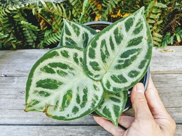 Join wait list: Anthurium crystallinum dorayaki hybrid - medium