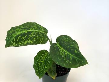 Join wait list: Dieffenbachia reflector (2)
