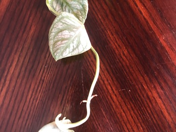 Selling: Monstera Dubia Cutting