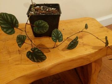 Join wait list: Cissus discolor 'Rex begonia vine'