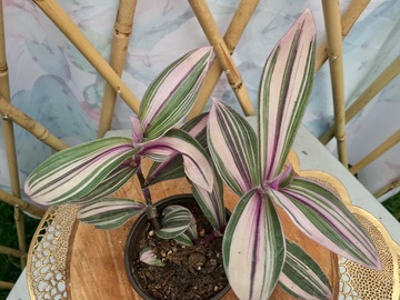 Join wait list: Tradescantia pink furry  (SOLD)