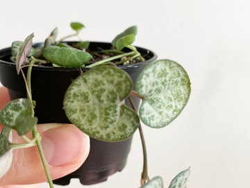 Selling: String of Hearts (Ceropegia Woodii)