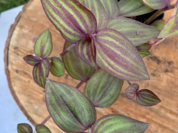 "Selling:  Zebrina ""purple stems plush "" SOLD"
