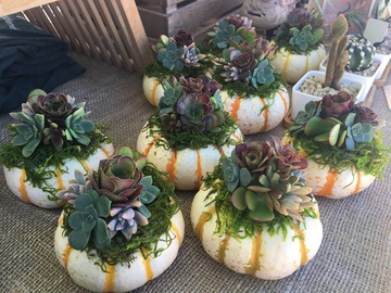 Selling: Succulent Pumpkin Kits
