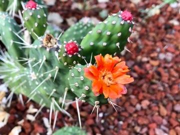 Selling: 1 gal Cactus - Cute blooms!