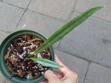 Selling: Anthurium vittarifolium