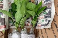 Selling: Super Hot Chili plants