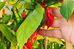 Selling: Ghost Pepper Plants