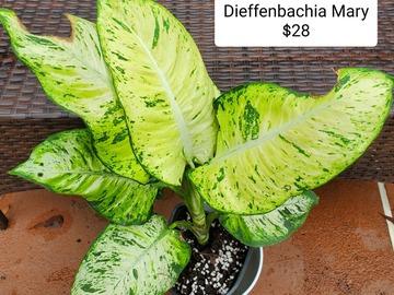 Selling: Dieffenbachia Mary
