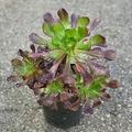 Selling: Aeonium succulent