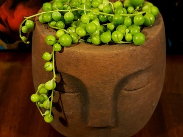 Selling: String of pearls (Curio rowyelanus)