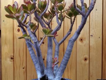 Selling: Jade Plant - Crassula Ovata