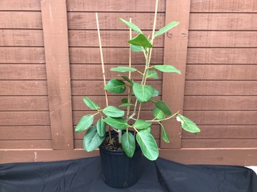 Selling: Ficus Audrey