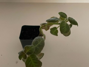 Selling: Episcia Jim's Specialty