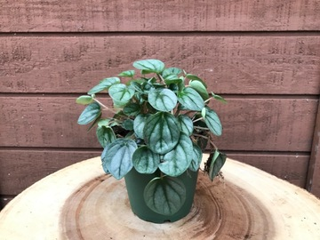 Selling: Peperomia Frost/Silver Ripple