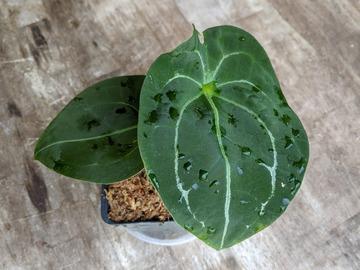 Anthurium forgetii dark