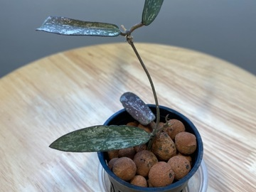 Selling: RARE Hoya Sigillatis / Rooted / Exact Plant
