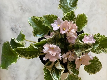 Selling: XL African violet, wild variegations, always in bloom