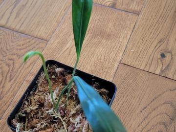 Selling: Anthurium pendens