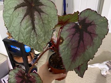 Selling: Begonia Rex