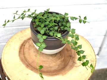 Selling: Dischidia million hearts in grey ceramic pot