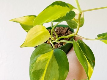 Selling: Philodendron 'Brasil' sp.