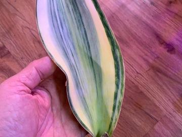 Selling: Sansevieria Masoniana Variegated- whalefin