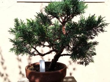 Selling: Shimpaku Juniper Bonsai Starter Tree