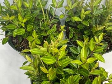 "Selling: Peperomia Angulata - 6"""