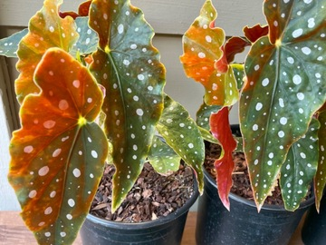 Selling: Begonia Maculata Wightii