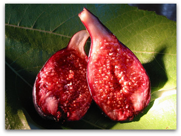 Selling: Violette de Bordeaux fig (3' tall tree) - A Fig for Common Kings