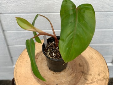 Philodendron red emerald