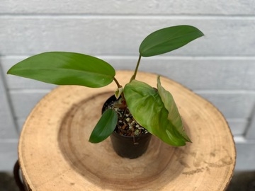 Philodendron red emerald #2