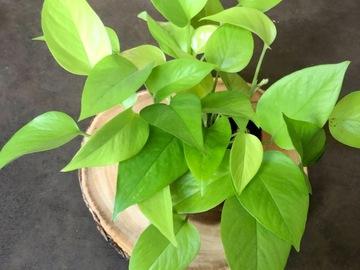 Selling: Neon Pothos (Epipremnum aureum 'Neon')