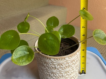 Selling: Pilea Money Plant
