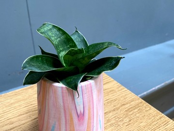 Selling: Cute snake plant in pink ceramic pot