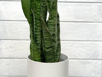Selling: Snake plant in white kendall pot