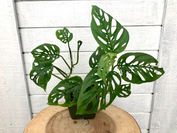 Selling: Monstera adansonii regular form